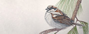 Sparrow Drawings Prints - Sparrow Among the Pines Print by Leslie M Browning
