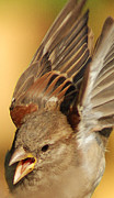 Bird Photographs Photos - Sparrow in flight by Jim Wright