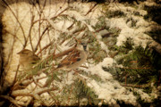Pine Digital Art Framed Prints - Sparrow In Winter IV - Textured Framed Print by Angie McKenzie