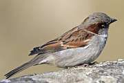 Side View Metal Prints - Sparrow Metal Print by Melanie Viola