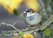 Sparrow Metal Prints - Sparrow on a branch Metal Print by Ralph Martens