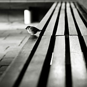 Wood Bench Posters - Sparrow On Bench Poster by photo by Jason Weddington