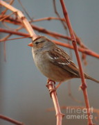 Blue And Brown Prints - Sparrow on Grape Vine Print by Carol Groenen