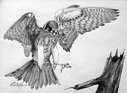 Kaelin Drawings Posters - Sparrowhawk Poster by Roy Kaelin