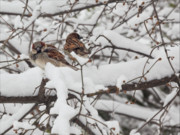 Sparrows Photos - Sparrows and Snow  by Robert Ullmann