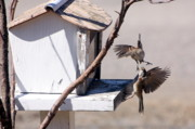 Sparrows Photos - Sparrows in Fight by Marjorie Imbeau