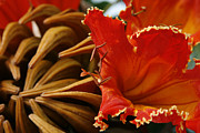 Nandi Prints - Spathodea campanulata - African Tulip Tree - Flame of the Forest Print by Sharon Mau