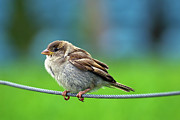 Sparrow Prints - Spatz Bird Print by Janusz Ziob