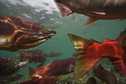Spawning Prints - Spawning Salmon In The Ozernaya River Print by Randy Olson