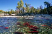 Fish Out Of Water Posters - Spawning Sockeye Salmon, Adams River Poster by David Nunuk