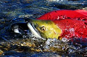 Salmon Framed Prints - Spawning Sockeye Salmon Framed Print by Don Mann