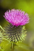 Bull Thistle Posters - Spear Thistle Flower Poster by Georgette Douwma