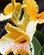 Canna Painting Posters - Speckled Lucifer Canna Lily 2 Poster by Sharon Von Ibsch
