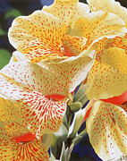 Canna Framed Prints - Speckled Lucifer Canna Lily Framed Print by Sharon Von Ibsch