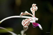  Large Format Prints - Speckled Orchid Print by Joseph Placheril