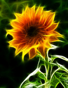 Amazing Digital Art Prints - Spectacular Sunflower Print by Pamela Johnson