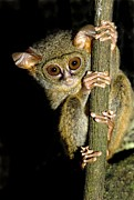 Spectral Framed Prints - Spectral Tarsier In A Tree Framed Print by Tony Camacho