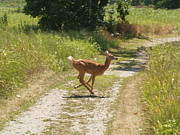 Fawn Photos - Speedy Fawn by Joshua House