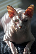 Alien Eyes Photos - Sphynx Cat by Glennis Siverson