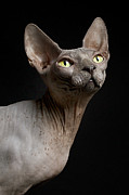Yellow Eyes Posters - Sphynx Cat Named Pixel Poster by Dracorubio Images