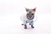 Sweater Posters - Sphynx Hairless Cat. Poster by With love of photography