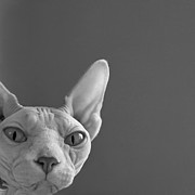 Naked Cat Prints - Sphynx in Black and White Print by Glennis Siverson