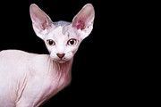 Vienna Metal Prints - Sphynx Kitten Sweet Cute Hairless Pet Cat Metal Print by Alper Tunc