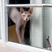 Naked Cat Prints - Sphynx Looks Out the Window Print by Glennis Siverson