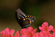 Spicebush Swallowtail Posters - Spice Bush Swallowtail and Azaleas Poster by Lara Ellis