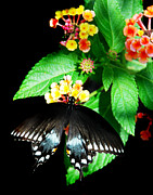 Spicebush Swallowtail Posters - Spice Bush Swallowtail  Poster by Skip Willits
