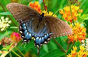 Spicebush Prints - Spicebush Swallowtail Print by Alan Lenk