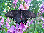 Mother Nature Photos - Spicebush Swallowtail Butterfly on Foxgloves - Papilio troilus by Mother Nature