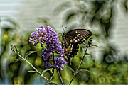 Spicebush Prints - Spicebush Swallowtail  Print by Edward Sobuta