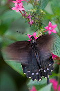 Swallowtail Butterflies Framed Prints - Spicebush Swallowtail Framed Print by Joann Vitali