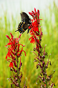 Feeding Photos - Spicebush Swallowtail on Cardinal Flower by Thomas R Fletcher