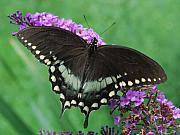 Spicebush Prints - Spicebush Swallowtail Print by Randy Bodkins