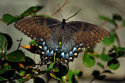 Spicebush Swallowtail Prints - Spicebush Swallowtail Print by Skip Willits