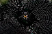 Webs Posters - Spider and Web . 7D8507 Poster by Wingsdomain Art and Photography