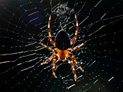Spider Posters - Spider and Web . 7D8562 Poster by Wingsdomain Art and Photography