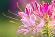 Spider Flower Framed Prints - Spider Flower (cleome Hassleriana) Framed Print by Maria Mosolova