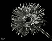 Flower Photos Posters - Spider Gerber in Black and White Poster by Endre Balogh