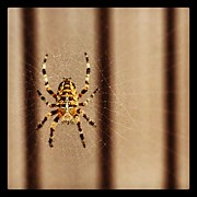 Insect Photos - Spider by Isabel Poulin