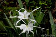 Spider Lilies Print by Barbara Bowen