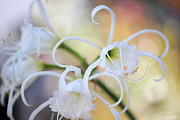 Spider Lily Prints - Spider Lily 3 Print by Heidi Smith