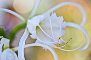 Spider Lily Prints - Spider Lily Print by Heidi Smith