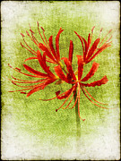 Morning Mist Images Framed Prints - Spider Lily Framed Print by Judi Bagwell