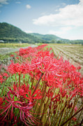 Close Focus Nature Scene Photo Posters - Spider Lily Poster by Yoshika Sakai