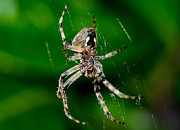 Big Spider Framed Prints - Spider Framed Print by Mats Silvan