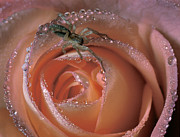 Rose Water Art - Spider on Rose by Steve Zimic