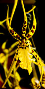 Spider Orchid Print by Barbara Middleton